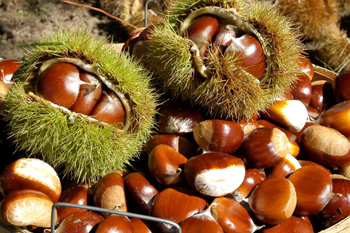 Chestnut Seeds
